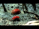 Red fiddler crabs on the mudflats of Sundarbans mangrove forest