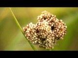 Grass flowers of Ziro Valley