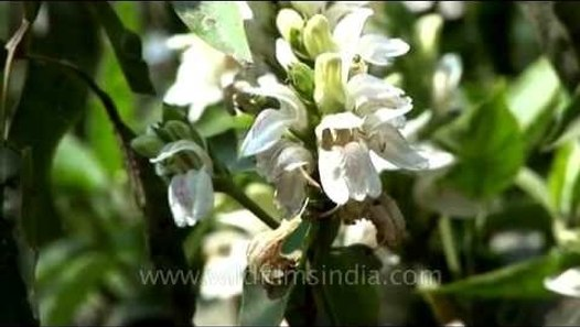 Adhatoda vasica makes for an important cough syrup cure