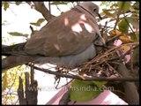 Barbary Dove feeding its chicks