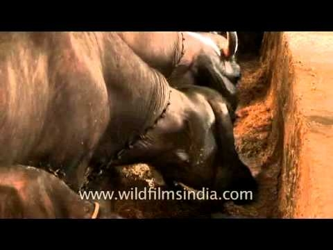 Buffaloes having their meals obediently!