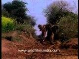Camels - animals of burden in India