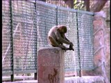Thirsty Monkey drinking water from a tap