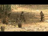 Party time for Macaques