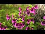 Carpet of Pink Impatiens growing wild at Kaas Plateau