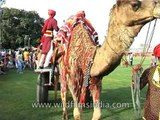 Camel parades gracefully during the procession at Jaipur Elephant Festival