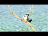 Pied Kingfishers or White breasted Kingfishers
