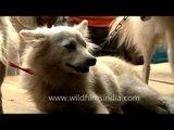 Snow-white dogs showcased at the Sonepur Cattle Fair in Bihar