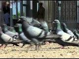 Pigeons flock together at Jama Masjid, Srinagar