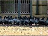 Pigeons gather for grains around Jama mosque, Srinagar