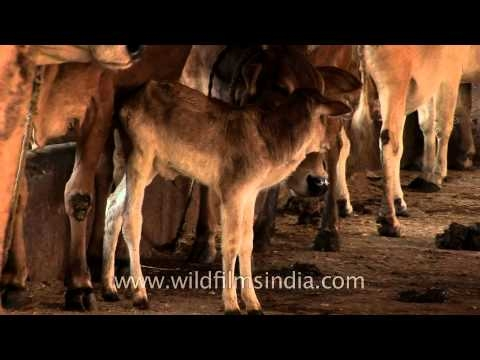 Unfortunate job – Cleaning and collecting cow dung, Nagpur