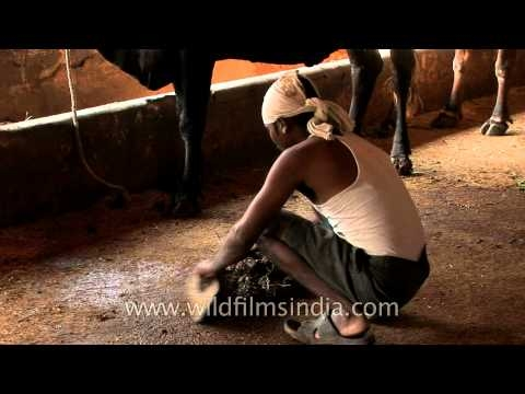 Cow shed cleaners at work, Nagpur