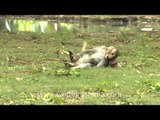 All time is play time for darling young Macaques...