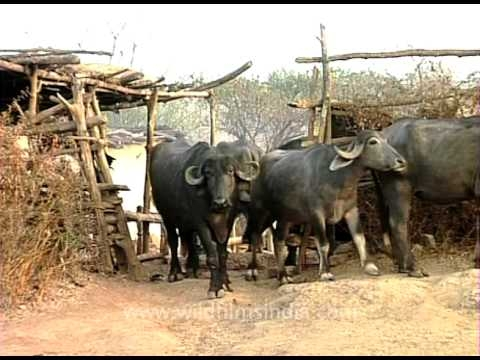 Indian rural Buffaloes – bred for meat and milk!