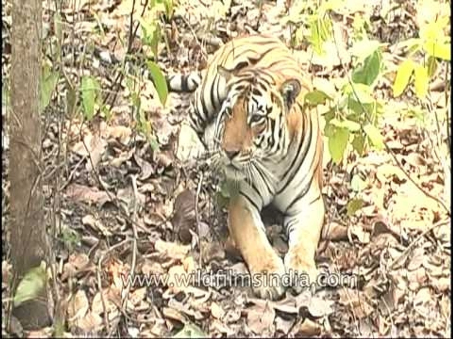 Tiger relaxing under a tree, Kanha National Park