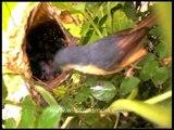 Birds feeding babies : Ashy Wren Warbler at nest!
