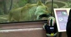 Cam Arkasından Bebeği Yemeye Çalışan Aslan