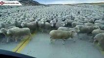 Des milliers de moutons sur la route