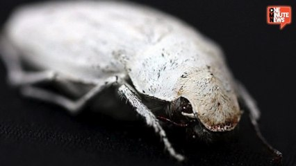 Super White Beetle Holds Secret To Whiter Paper And Computer Screens?