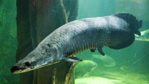 'River Monsters' Are Disappearing from the Amazon