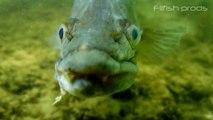 Poissons sauvages X (vidéo sub eau douce compil des plus beaux poissons)