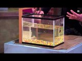 Christmas Lectures 2011: Siamese Fighting Fish fights its reflection