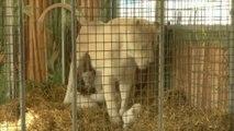 Rare naissance de lionceaux blancs dans un cirque allemand