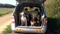 Des chiens bien disciplinés sortent d'une voiture pour une petite ballade...
