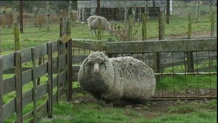 Shaun, le mouton le plus laineux du monde ?