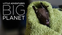 Sad end for a bat with broken wing