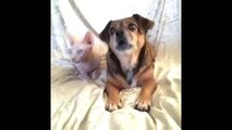 Who's your best friend Dog Loves Cat Vine By Lilly And The Hairless