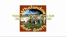Whalandaw Boer Goats West Yorkshire | Boer Goats For Sale | South African Boer Goats