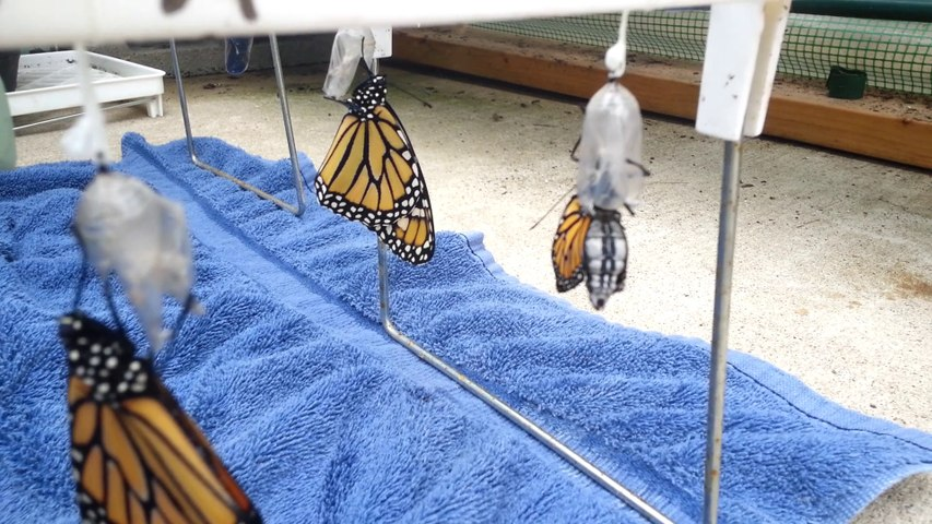 Monarch Emerging from Chrysalis