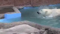 Mating Polar Bears in Zoo