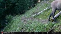 Animaux sauvages des Alpes - Piège vidéo/photographique (Stealth Cam)