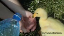 Un canard à un pic-nic