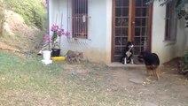 Deux lionceaux jouent avec deux chiens
