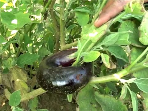 Eggplant Fruit and Shoot Borer disease - natural pest control (Yousuf Saeed)