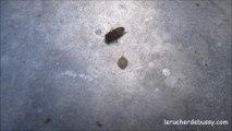 maladie noire de l'abeille
