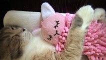 Les chats aussi ont leur doudou