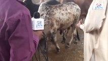 Cows for Qurbani! Beautiful Cows and Bull calf in Karachi  DHA  Clifton, Gulshan Bhains Colony 2014 Eid Cow Mandi