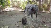 Ce chaton devient fou devant le chien