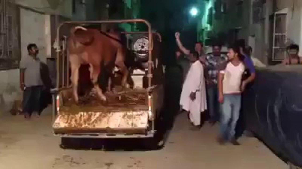 funy free vedio Camel Qurbani Eid ul Azha on watch