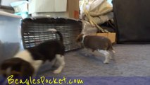 Cute Beagle Puppies Playing Funny Puppy Beagles Running Pets 8 Weeks Old Video
