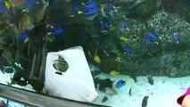 Une raie essaie de manger un poisson dans un aquarium
