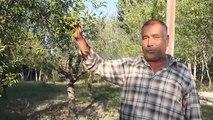 Erik Ağaçları Meyve Verdi