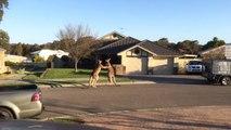 Bagarre de rue entre kangourous en Australie