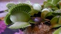 Une plante carnivore dévore un escargot