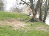 Cygnes flânant aux bords de Marne