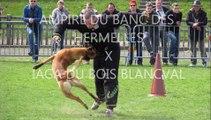 chiot berger belge malinois